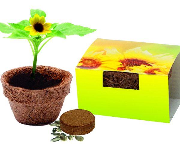 Kokos-Topf mit Bio-Sonnenblume