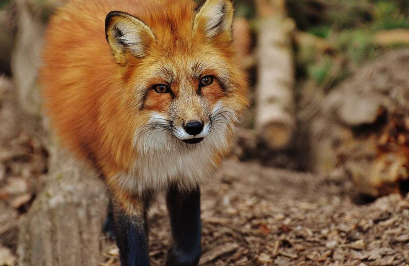 Fuchs, Du hast die Gans gestohlen...