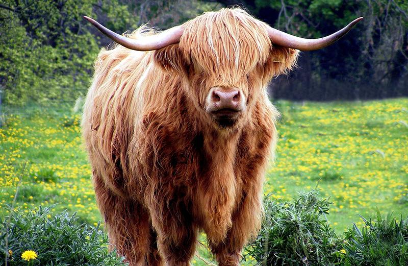 Kuh in Freiheit