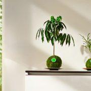 Kugelbaum Castanospermum Australe & Codiaeum Sunny