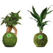 Kugelbaum Herzblattpflanze Glücksbambus