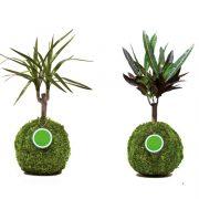 Kugelbaum Wiunderstrauch Drachenbaum